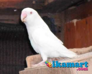 lovebird albino mata merah   hewan peliharaan
