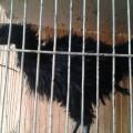 Ayam Cemani Walik Jantan Remaja 100% Asli langka