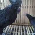 Sepasang Ayam Cemani Kwalitas Super 100% Asli Siap Untuk Ternak
