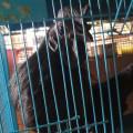Sepasang Ayam Cemani Dewasa Gurih Mantap Siap Untuk Diternak Kwalitas Super