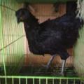 Sepasang Ayam Cemani Dewasa Kwalitas Super Siap Nikah Dan Siap Rumah Tangga