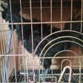 Sepasang Ayam Cemani Walik Dewasa Gagah Perkasa Istimewa Dan Tahan Lama