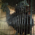 Ayam Cemani Walik Keriting Kribo Lancuran/Remaja Kwalitas Super Mantap Keren