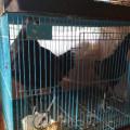 Ayam Cemani Remaja Kwalitas Super Mantap 100% Asli Tanpa Mistis