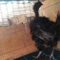 Sepasang Ayam Cemani Walik Lancuran/Remaja 7 Bulan Mantap Berkwalitas