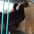 Ayam Cemani Remaja Mantap Kwalitas Super Dijamin 100% Halal Tanpa Lemak Babi
