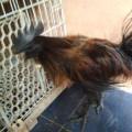 Ayam Cemara/Lidi/Landak Jantan Dewasa Warna Hitam, Emas, Merah Mantap Super Langka