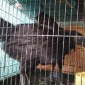 Sepasang Ayam Cemani Lancur/Remaja Super Mantap Istimewa Gurih dan Renyah
