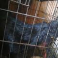 Sepasang Ayam Cemani Dewasa Mantap Jiwa Kwalitas Istimewa