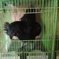 Sepasang Ayam Cemani Dewasa Kwalitas Super Istimewa Siap Produksi