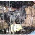 Ayam Cemani Remaja Mantap Istimewa Bikin Hati Jatuh Cinta Dijamin