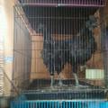 Ayam Cemani Lancuran?Remaja Kwalitas Super Mantap Sudah Tunangan