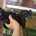 Sepasang Ayam Cemani Walik Keriting Kribo 3 Bulan Up Mantap Unik Cantik Murmer Antik