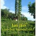Bibit Jati Unggul Nusantara