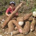 Bibit Singkong Gajah