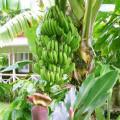 Bibit pisang ambon Hijau