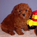 Anjing Red Toy Poodle