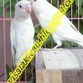 LoveBird Albino MM (H.Sudarso Amar)