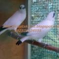 Burung Jalak Bali Asli Bersertifikat Resmi dari BKSDA