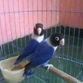 LoveBird Dakocan Biru Mulus Tanpa Cacat
