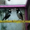 Jual Burung Jalak Suren Big Body Mulus