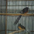 sepasang burung murai batu medan siap produksi