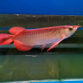 Ikan Arwana Super Red Ukuran 15 Cm + Sertifikat