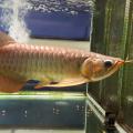 Anakan Arwana Super Red ukuran 14cm sampai 45cm