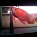 Pusat Ikan Arwana Super Red - Sisik Naga