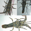jUAL Bibit lobster Pasir, Mutiara, Bambu. 082292651576