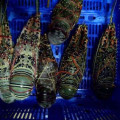 Jual lobster Bambu, hub 082292651576