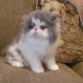 Kucing Persia Peaknose Bulu Panjang