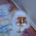 Kucing persia peaknose dewasa bulu bersih