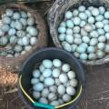 Telur bebek konsumsi