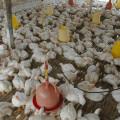 Jual Doc Ayam Broiler