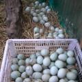 Jual Telur Bebek Mentah