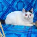 Kucing Peaknose Exotic Shorthair Hamil