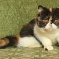Kucing Exotic Short-hair Peaknose