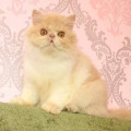 Kucing Persia / Kitten Persian Peaknose non PED Jantan LUCU MAKSIMAL