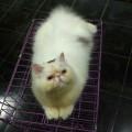 Dilepas adopsi kucing betina peaknose extrim usia 9 bulan
