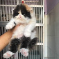 Kucing persia PEAKNOSE betina wrn calico sudah VAKSIN