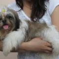 Anakan Anjing zhih tzu
