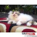 Kucing Persia Peaknose Pesek