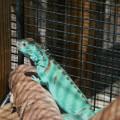 Iguana Green Biru