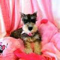 Anjing Miniature Schnauzer
