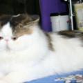 kucing peaknose pesek