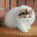 kucing  persia  peanose pesek